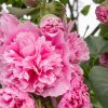Hollyhock rosea 'Pleniflora'