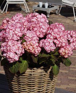 Hydrangea 'Miss Saori' plant in 9cm pot