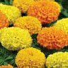 Marigold 'Taishan Mix'
