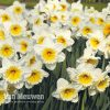 Narcissus 'Butterfingers'