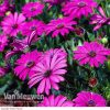 Osteospermum 'Tresco Purple' (Hardy)