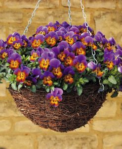 Pansy 'Avalanche'