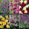 Perennials 'Perfumed Collection' (Garden ready)