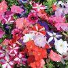Petunia 'Frenzy Mix'