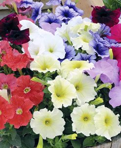 Petunia grandiflora Frenzy Mix 40 plug plants
