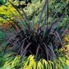 Phormium 'Black Velvet'