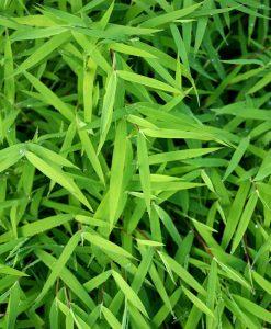Pleioblastus argenteostriatus f. pumilus