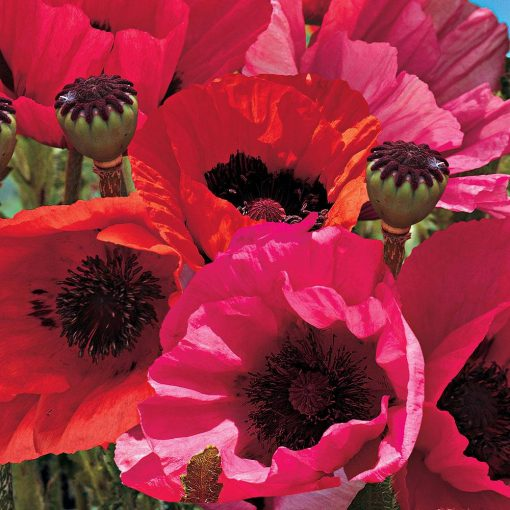 Poppy 'Oriental Collection' (Garden Ready)