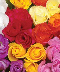 Primrose 'Petticoat Mixed'