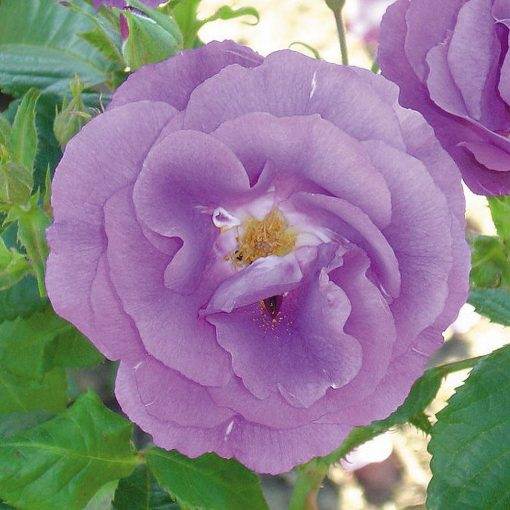Rose 'Blue for You'