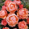Rose 'Lady Marmalade'