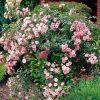 Rose 'The Fairy' (Polyantha)