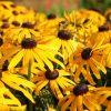 Rudbeckia fulgida 'Early Bird Gold'