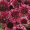 Scabious 'Beaujolais Bonnets' (Garden Ready)