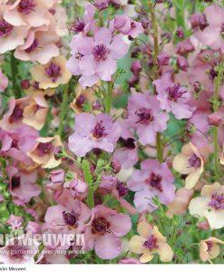 Verbascum x hybrida 'Southern Charm'