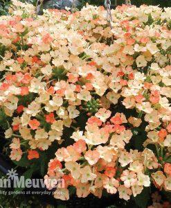 Verbena 'Peaches And Cream'