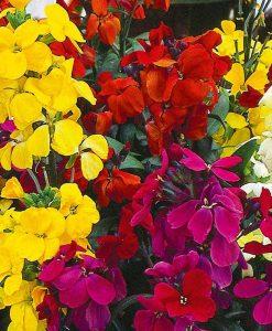 Wallflower 'Super scent Mix'