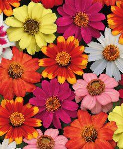 Zinnia 'Zahara' Single-flowered Mix (Garden Ready)