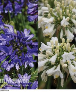 Agapanthus 'Ever Duo' (1 White