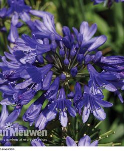 Agapanthus 'Ever Sapphire'