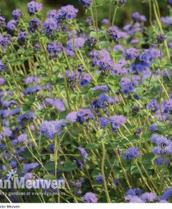 Ageratum 'Everest Blue' (Garden Ready)