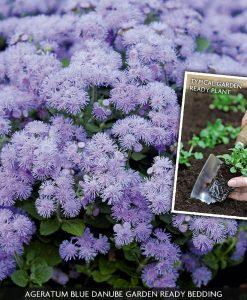 Ageratum houstonianum 'Blue Danube' (Garden Ready)