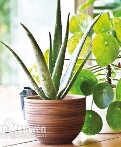 Garden Aloe Vera Flowers & Plants Co.