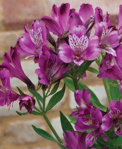 Alstroemeria 'Butterfly Hybrids'