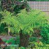 Garden Australian Tree Fern Thompson & Morgan