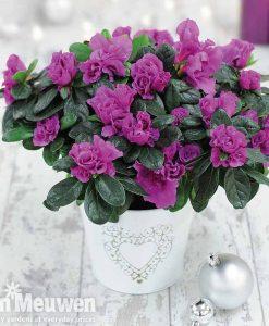 Azalea Purple