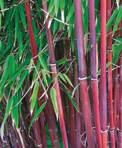 Bamboo 'Asian Wonder'