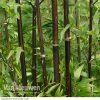 Bamboo (Black)