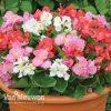Begonia 'Lotto Mixed'