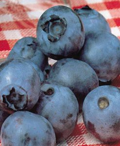 Blueberry 'Powder Blue'