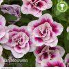 Calibrachoa 'Mini Famous PinkTastic'