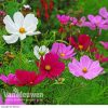 Cosmos 'Sonata Mixed' (Garden Ready)
