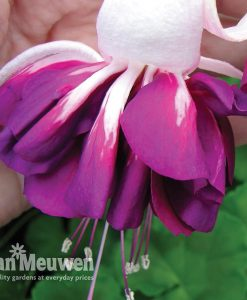 Fuchsia 'Heri Mochara'