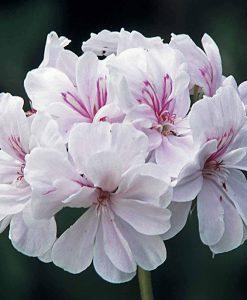 Geranium 'Blanche Roche'