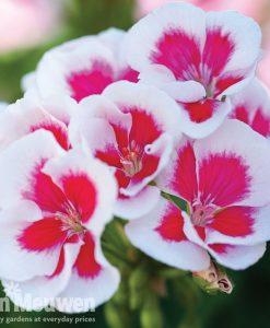 Geranium 'Flower Fairy White Splash'
