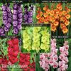 Gladiolus 'Carnival Collection'