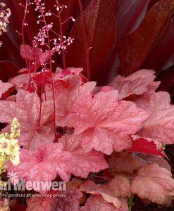 Heuchera 'Autumn Leaves'