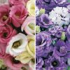 Lisianthus Collection