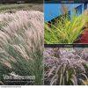 Pennisetum Fireworks Grass Collection