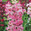 Penstemon 'Tubular Bells Rose'