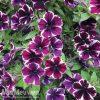 Petunia 'Sweetunia Miss Marvelous'