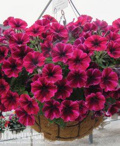 Petunia 'Sweetunia Suzie Storm'