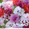 Pinks Scents of Summer Collection