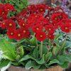 Polyanthus 'Stella Regal Red'