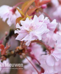 Prunus 'Oshidori' (Standard)