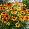 Rudbeckia 'Summerina Mixed'